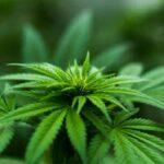 Cada vez existen más países que aprueban el cannabis medicinal. Imagen de Michael Fischer de Pexels https://www.pexels.com/photo/shallow-focus-photography-of-cannabis-plant-606506/