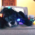 Las extensiones de luces navideñas pueden ser peligrosas para tus mascotas